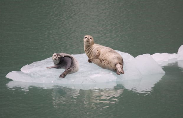 parent and baby seal laying on floating sea ice in alaska seen from a small ship cruise