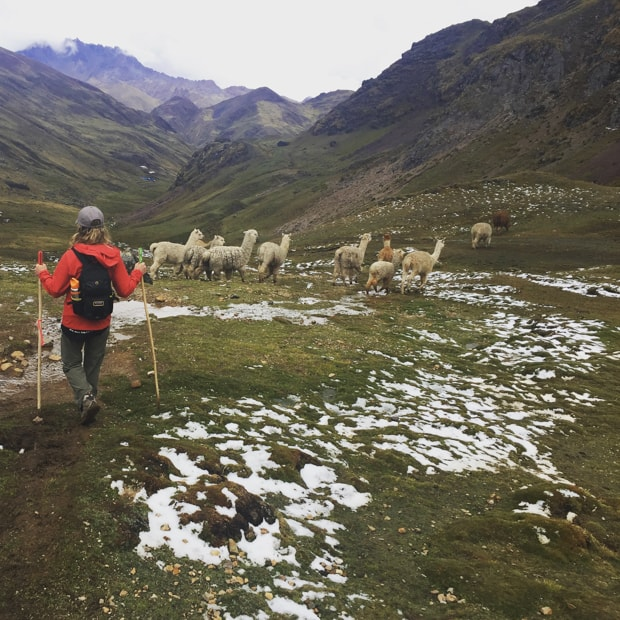 A large group of Alpacas walking in a grassy hillside with a traveler hiking behind with mountains surrounding and sprinkles of snow.