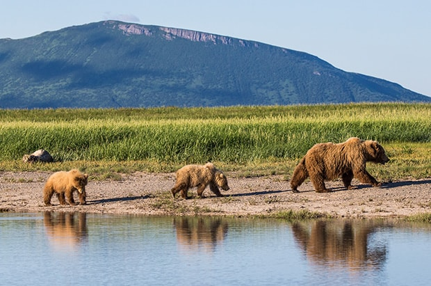 Three coastal brown bears walking along a pond with their reflections showing and a green meadow behind them in Alaska.