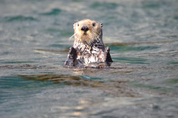 A sea otter floating in the water in Alaska.