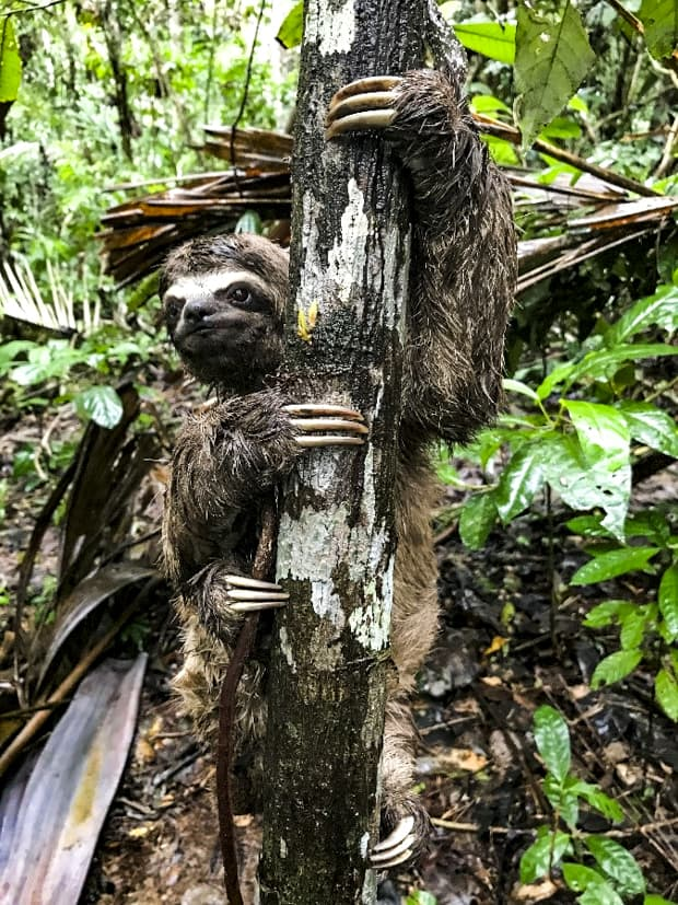A three-toed sloth holding onto a tree trunk in the Peruvian Amazon jungle.