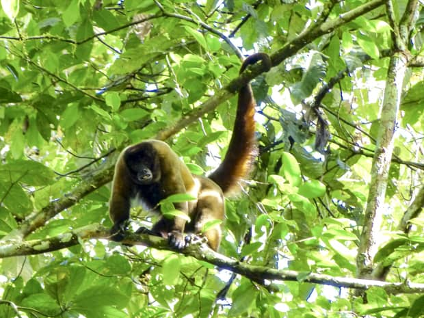 A monkey perched on a tree branch with its tail hooked around a branch in the canopy of the Amazon jungle.