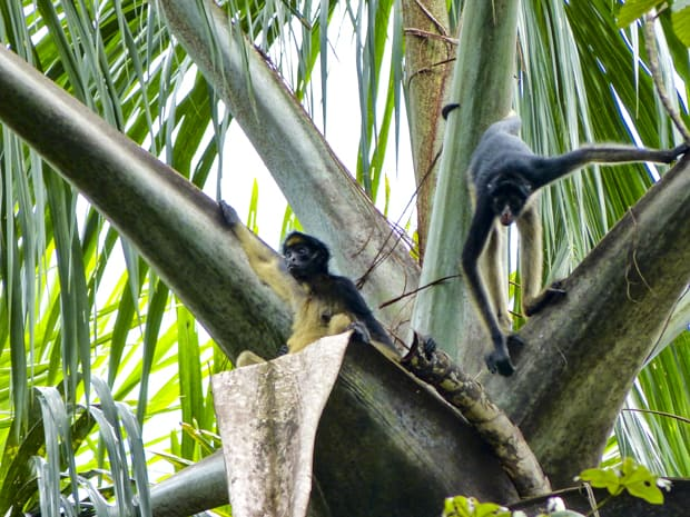 2 small monkeys sitting and standing on palm fronds in Ecuador.