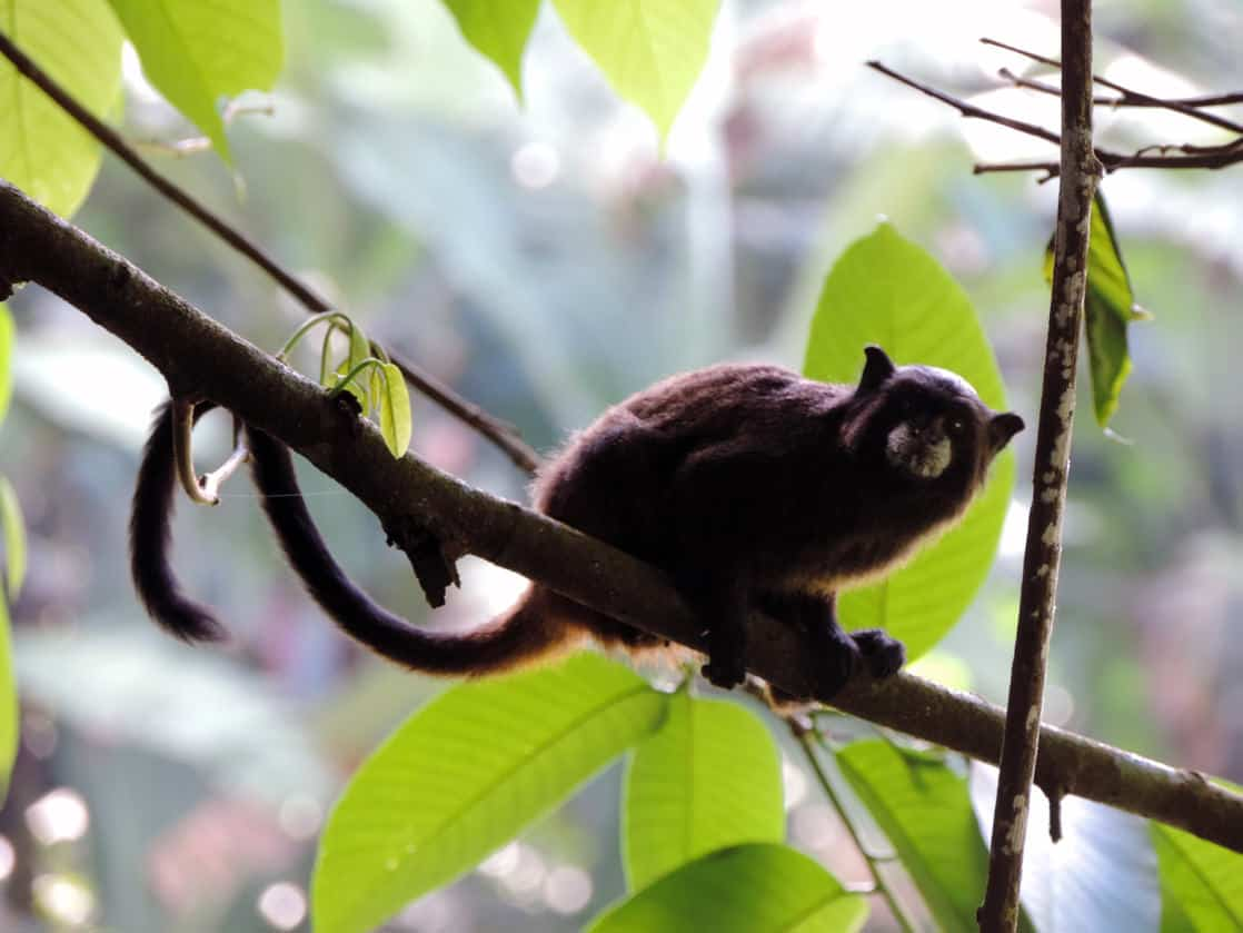 A small monkey hanging onto a branch in the Amazonian jungle.
