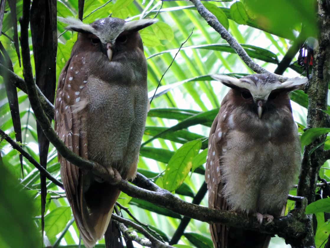 2 owls perched on top of a branch in the Amazon jungle.