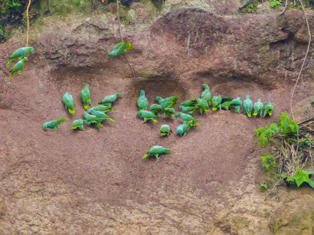 Group of parrots hanging around the clay lick in the Ecuadorian Amazon jungle.