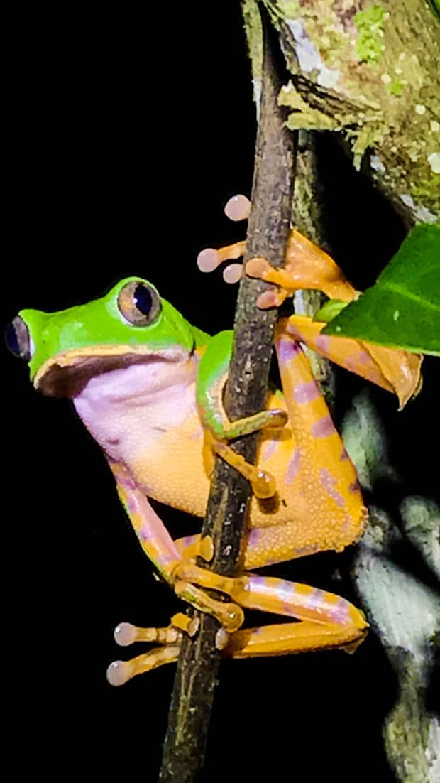 A bright colored frog holding onto a branch.