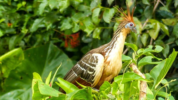 A hoatzin bird resting in the green trees in the Ecuadorian Amazon jungle.