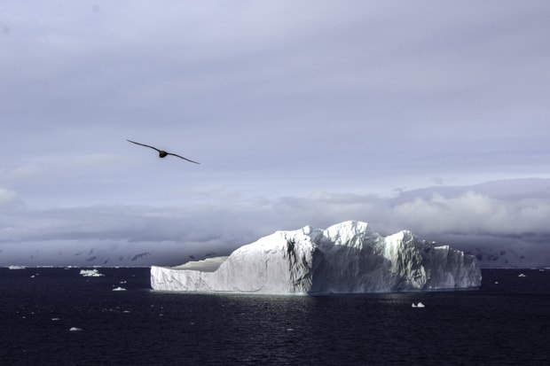 Bird flying over an iceberg seen from a small ship cruise in ANtarctica.