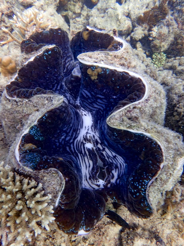 A giant clam underwater that is blue and white with iridescent green spots.