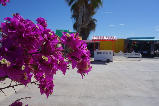 Purple bougainvillea in front of Baja stands in a courtyard.