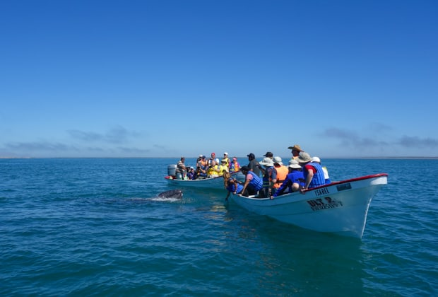 2 pangas with many Baja travelers observing a small gray whale with its head peering out of the water.