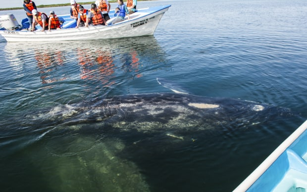 Small panga boat carrying Baja travelers observing a gray whale swimming in the water.