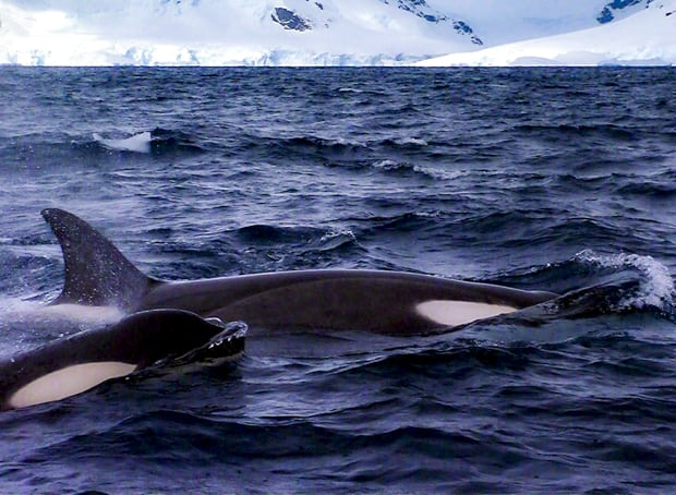 Two up close orcas seen from a small ship cruise in Antarctica.