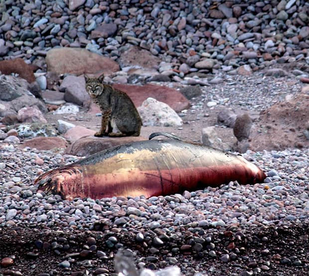 Bobcat sitting next to a dead sea lion carcass on a rocky shoreline in Baja.