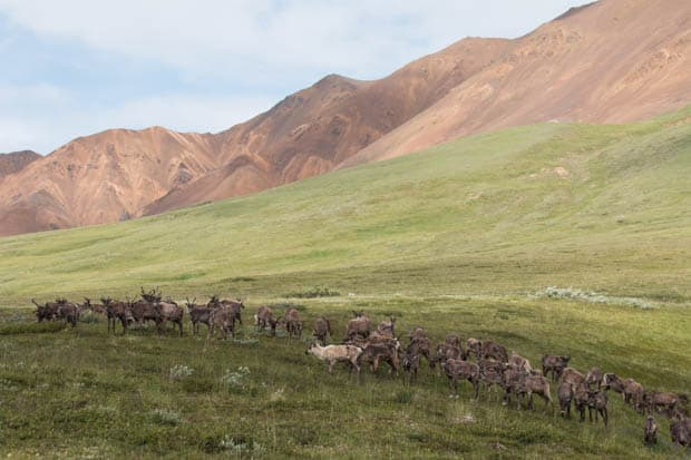 A herd of caribou grazing in the tundra in Alaska.