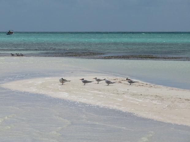 Birds on a sandy beach in Cuba.