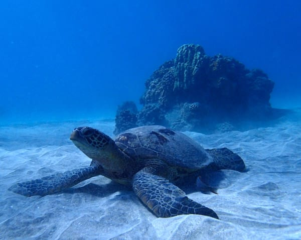 Sea Turtle sitting on the bottom of the ocean waiting at a cleaning station. Large rock behind the turtle