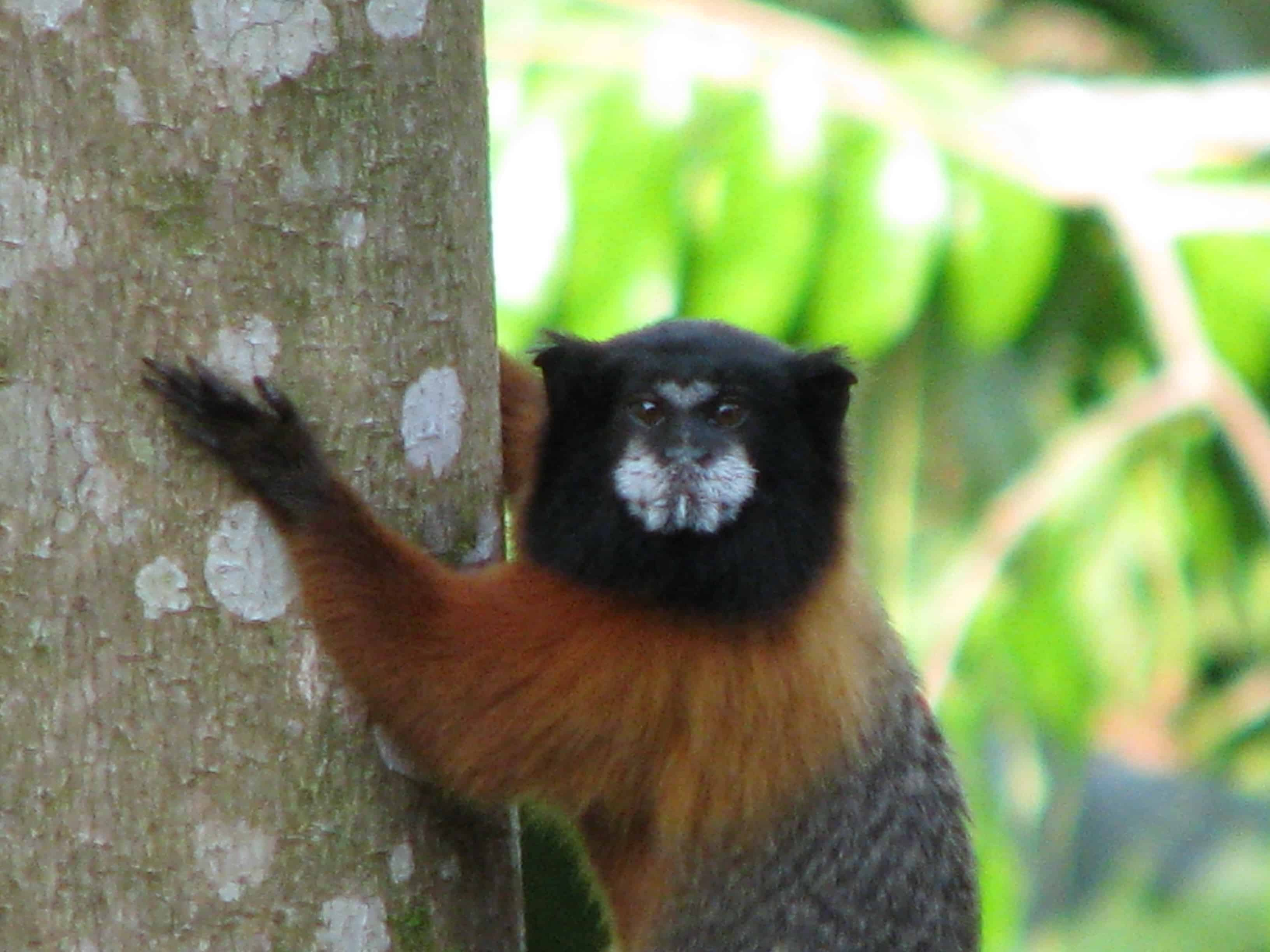 Monkey in tree on Ecuador Amazon Adventure at Napo Wildlife Center.