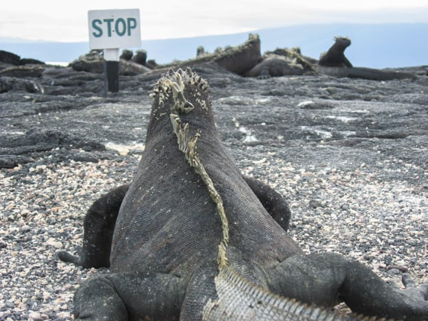 A black marine iguana is looking at a sign that says stop