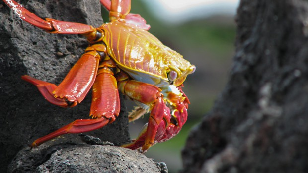 An up close shot of a red and orange Sally Lightfoot crab