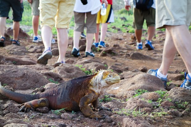 A red, brown and white Galapagos iguana laying right next to people walking on a trail