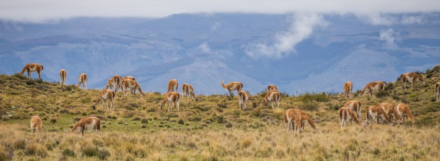 Herd of guanacos on a grassy hillside in Torres del Paine National Park in Patagonia.