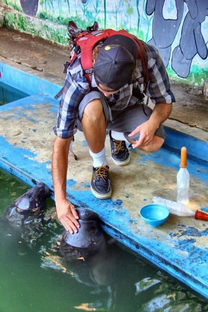 A man kneeling down to pet a manatee at the Manatee rescue in the Peruvian Amazon jungle.