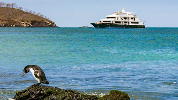 A Galapagos penguin looks into the water from a rock while a Galapagos catamaran rests in the bakground