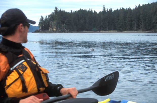 An Alaskan traveler kayaking in the ocean viewing a swimming seals head nearby.