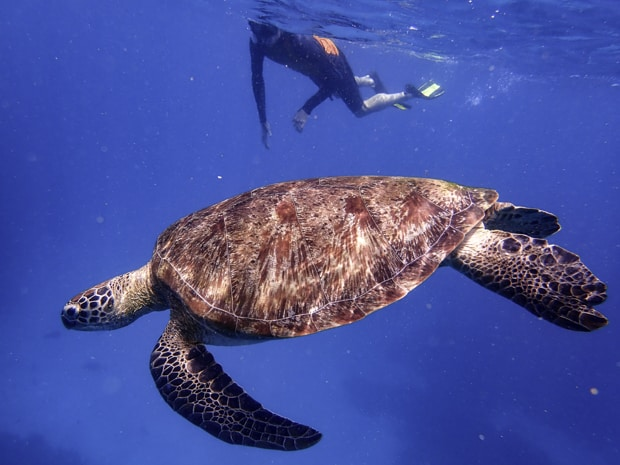 A sea turtle swimming by a snorkeler in the bright blue ocean water of Indonesia.