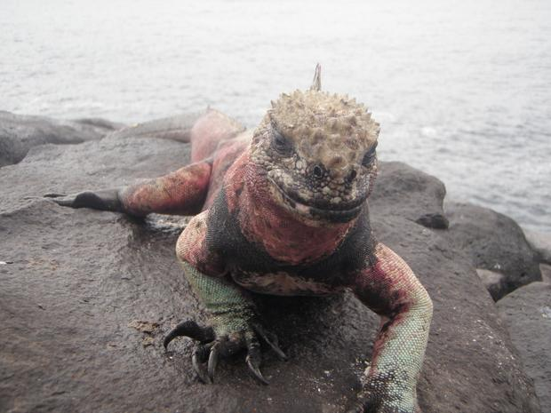 Red and black marine iguana crawling on a rock in the Galapagos.