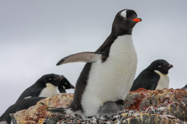 Three penguins seen up close of a small ship in Antarctica.