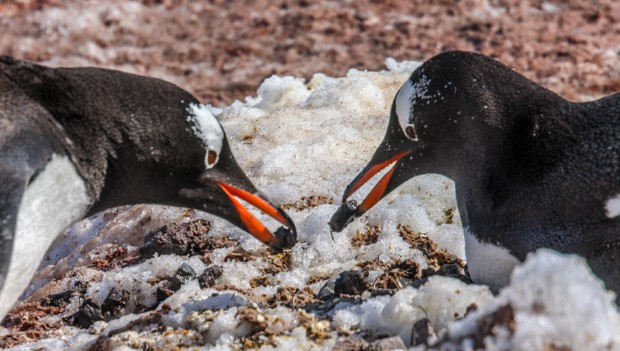 Two penguins seen from a small ship land tour in Antarctica.