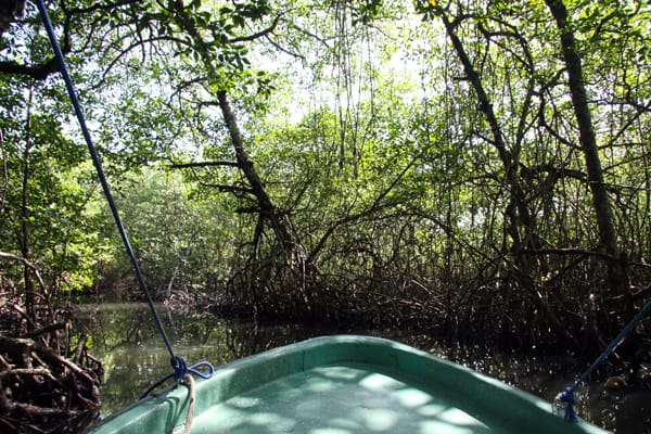 Small boat cruising through a river in a mongrove forest in the jungle of Panama on a land tour.