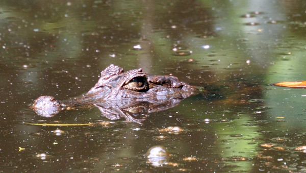 Caiman head sticking out of murky water in Panama.