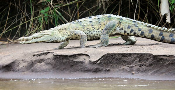 Green with black spots crocodile walking on the sand of the river bank.