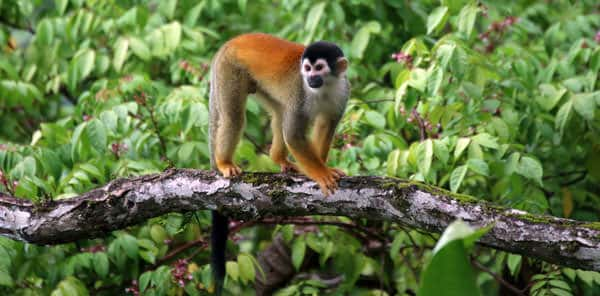 Costa Rican orange and tan monkey walking on a branch in the rainforest.