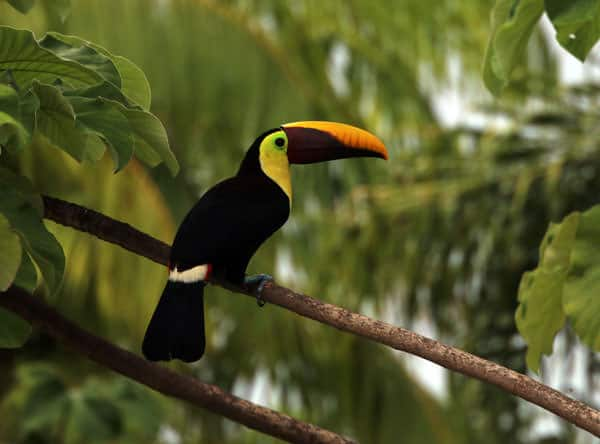 Yellow and black billed toucan perched on a branch in the Costa Rican rainforest.