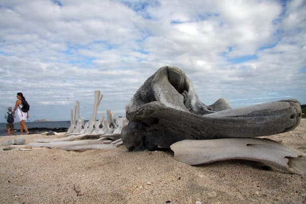Whale skeleton bones on a sandy beach in the Galapagos islands.