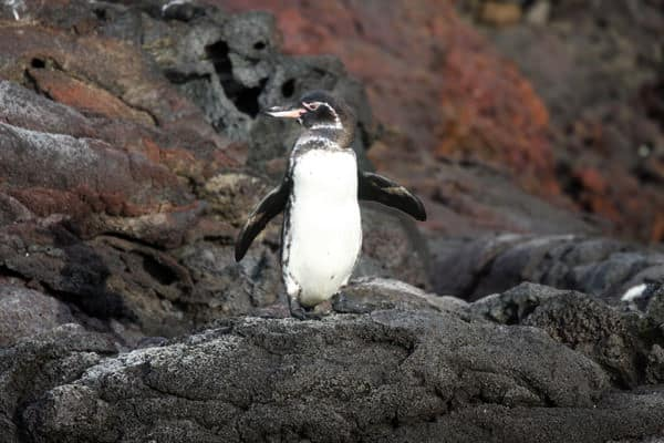 Small Galapagos penguin standing on a rocky coastline in the Galapagos.