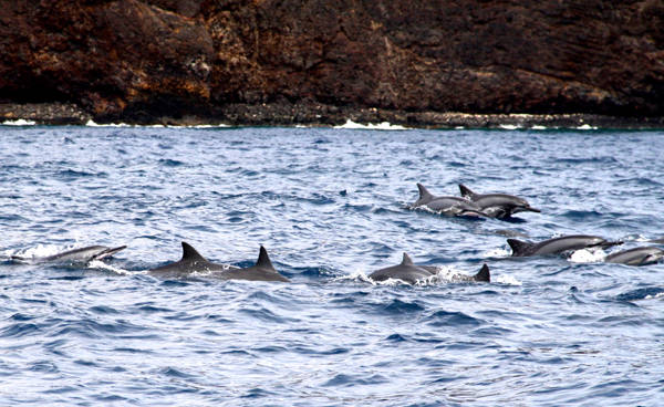 Hawaiian cruise pod of dolphins swimming through the water alongside the skiff
