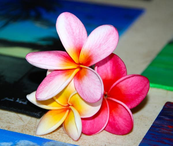 Hawaiian plumeria flowers, pink, dark pink and yellow five petaled flowers