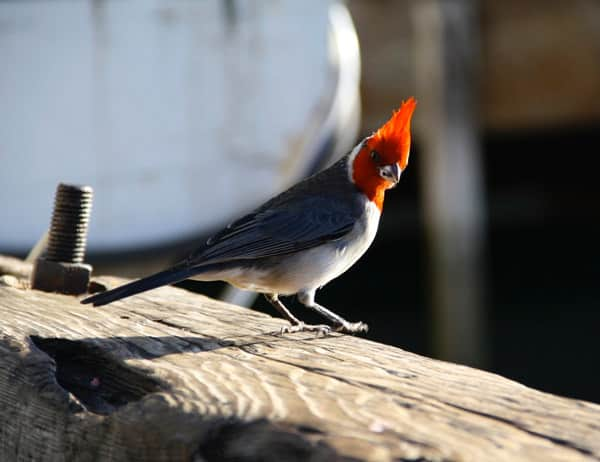 Hawaiian red crested cardinal bird