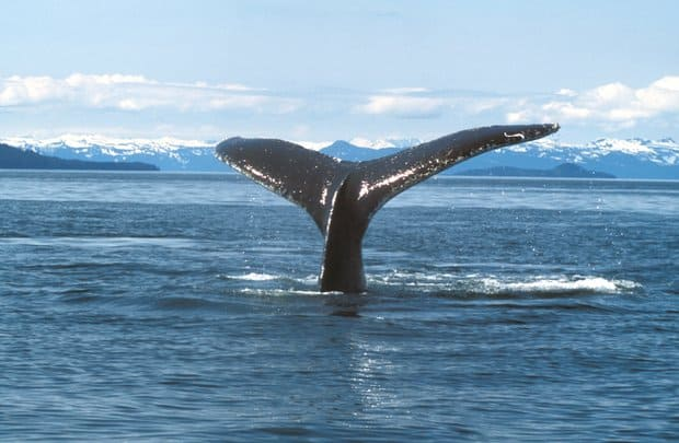 Fluking humpback whale tail in the ocean of Alaska.