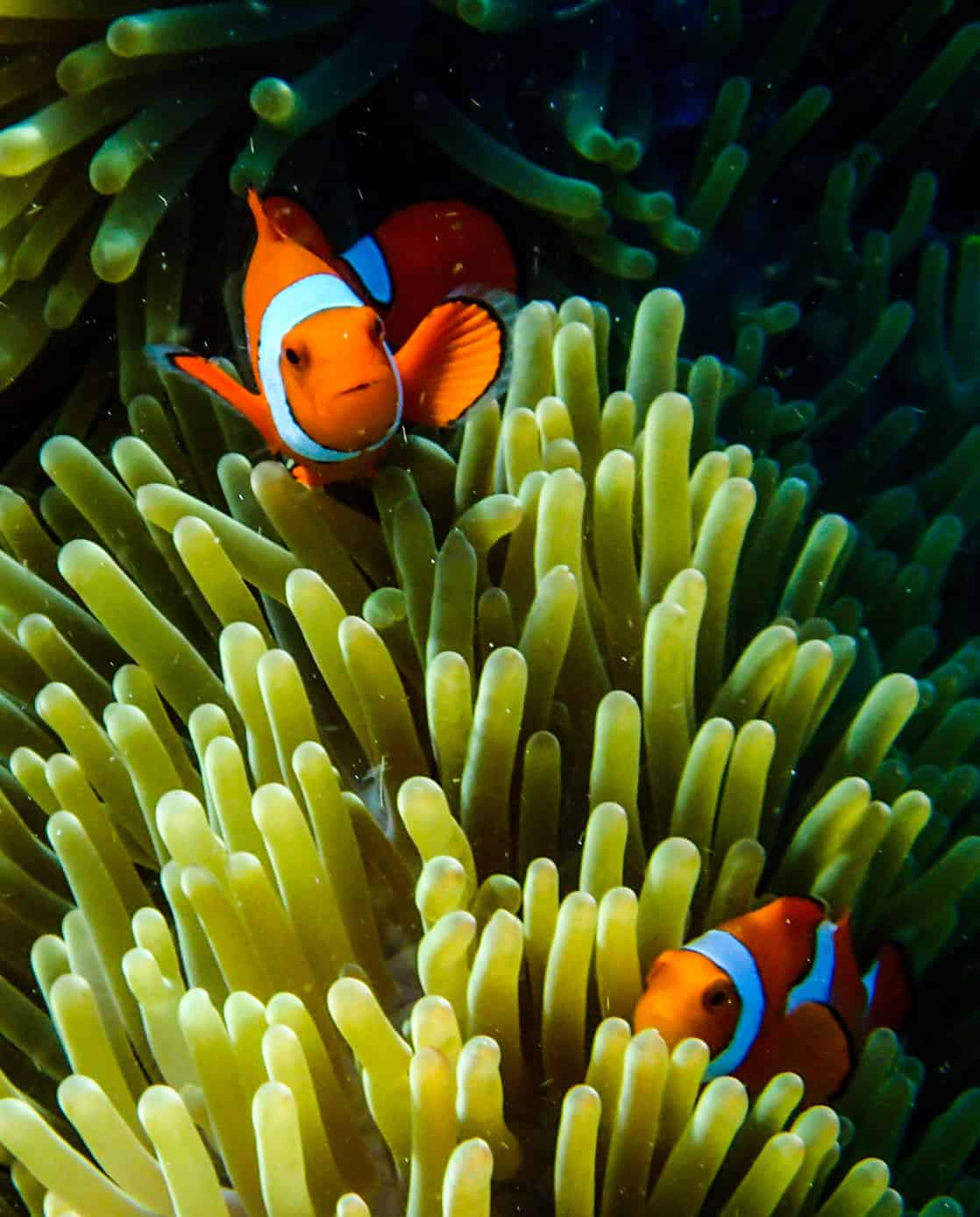 Clown fish in an anemone seen on a scuba diving excursion from a small ship cruise in the south pacific islands.