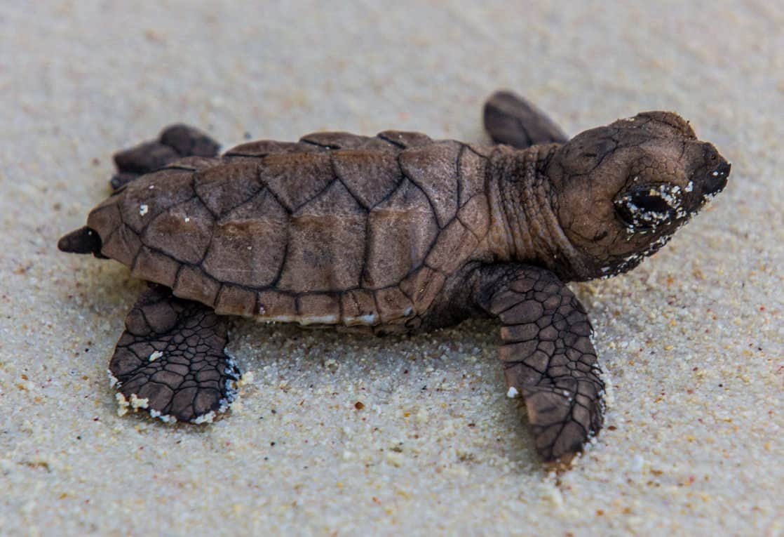 Baby Hawksbill turtle seen a conservation project in the Arnavon Islands in the south pacific.