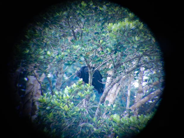 Telescope view of a black Amazonian bird perched on a branch in the jungle.