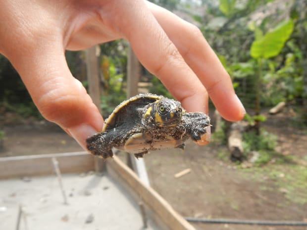 A tiny river turtle being held by a Amazon traveler.