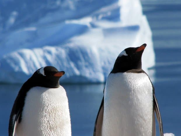 Two up close penguins in front of iceberg in Antarctica.